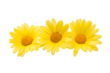 Yellow Daisy Isolated