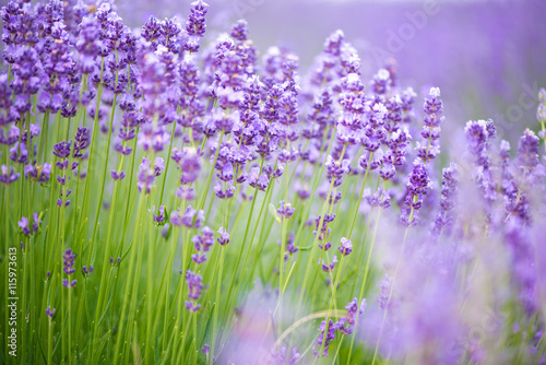 Meadow of lavender. Nature composition. Selective focus #115973613