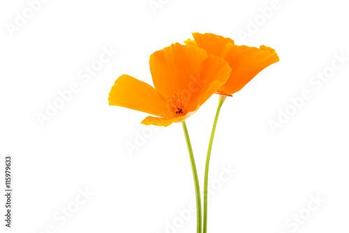 Valokuva  orange poppy