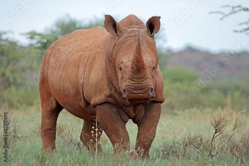 Spoed Foto op Canvas Neushoorn A white rhinoceros (Ceratotherium simum) in natural habitat, South Africa.