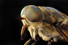 Portrait Of A Large Horsefly T...