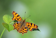 Comma Butterfly Resting On A L...