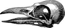 Vintage Image Skull Raven