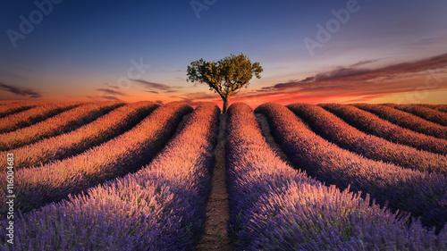 Poster Lavender Lever de soleil sur un champ de lavande. Valensole - Alpes-de-Haute-Provence