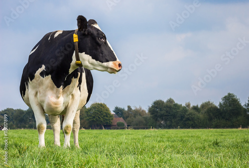 Dutch black and white cow in a grass meadow Fototapet