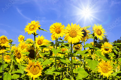 Poster Jaune Sunflowers: color of summer :)
