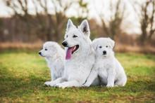 White Swiss Shepherd Dog With Its Puppies