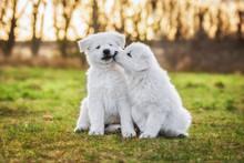Two Funny White Swiss Shepherd...