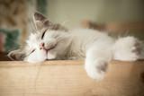 Fototapeta Koty - Portrait of sweet sleep white cat