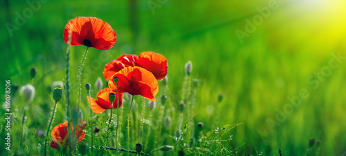 Amazing poppy field . Summer flowers . - 116078206