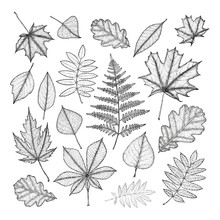 Large Set Of Leaves Of Various Trees. Hand Drawing.