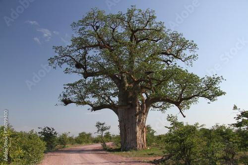 In de dag Baobab Baobab, Adansonia digitata at Mapungubwe National Park, Limpopo