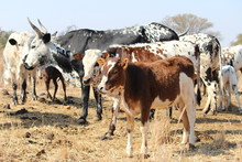 A Herd Of Multi-colored Nguni ...