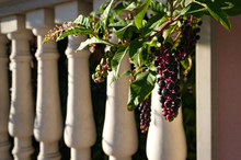 Abstract Summer Background With Pokeberries, Pokeweed Berries. Phytolacca Americana Berries On Vine With Classical White Columns On The Background