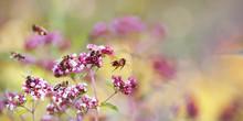 Bees On Oregano