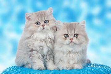 FototapetaZwei niedliche Perserkatzen Babies vor blauem Hintergrund