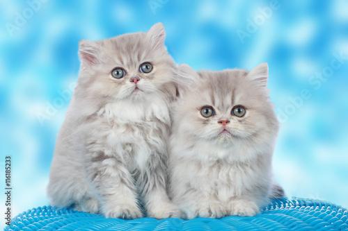 Zwei niedliche Perserkatzen Babies vor blauem Hintergrund - 116185233