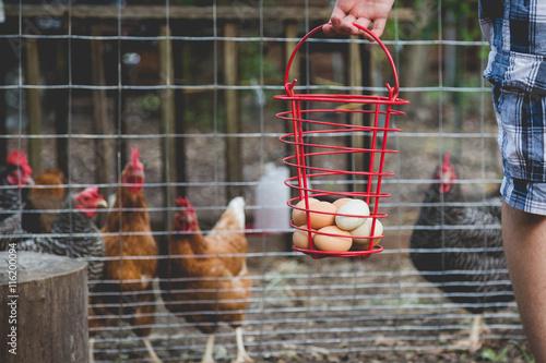 Fotografering  Gathering Eggs
