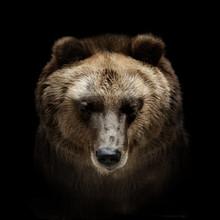 Bear Portrait Isolated On Black