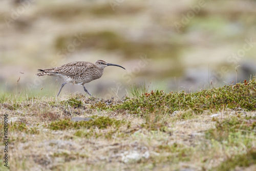 Fotografia  The Eurasian curlew (Numenius arquata)