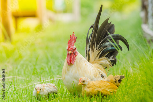 Keuken foto achterwand Kip The little colourful chichen in the wide green field, bantam chicken, poultry