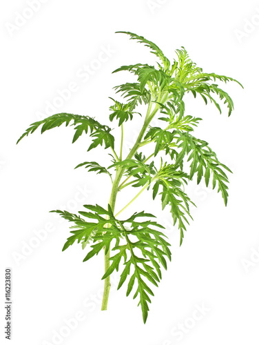Ragweed plant in allergy season isolated on white background, co Poster Mural XXL