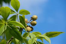 Fresh Chestnuts, Aesculus Glabra