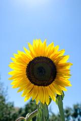 Naklejka Sonnenblume