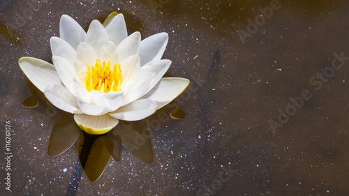 Fototapeta White Lily in the pond obraz na płótnie