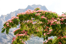 Albizia Julibrissin On The Background Of Mountains And Sky