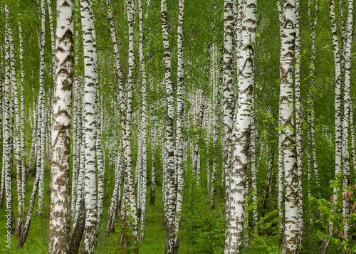 Papiers peints Bosquet de bouleaux Birch grove in the spring