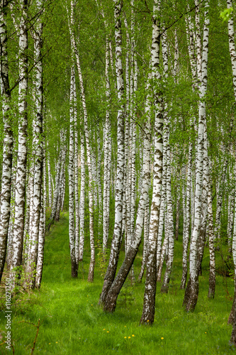 Papiers peints Forets Birch grove in the spring