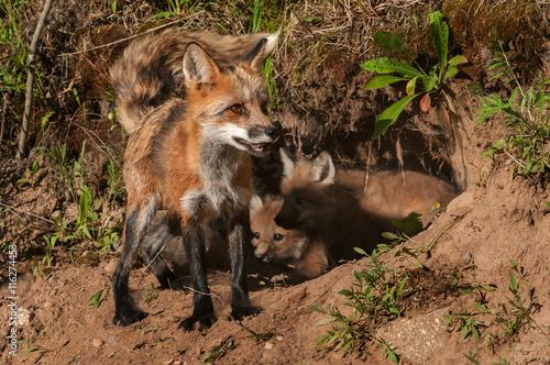 Valokuva  Red Fox Vixen (Vulpes vulpes) In Front of Den Full of Kits