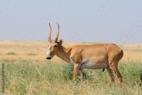 Poster Antilope Wild male Saiga antelope in Kalmykia steppe
