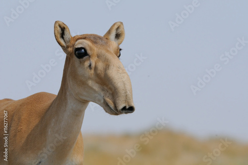 Antilope Portrait of Wild Saiga antelope in Kalmykia steppe