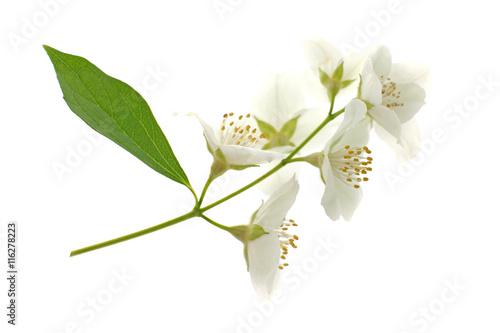 Photo  Fresh jasmine branch on white background
