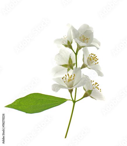 Fresh jasmine branch on white background Wallpaper Mural