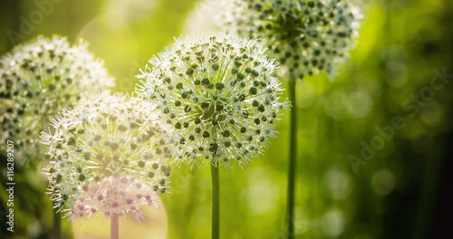 Beautiful White Allium circular globe shaped flowers blow in the wind Canvas Print