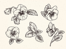 Hand Drawn Pansy Flowers