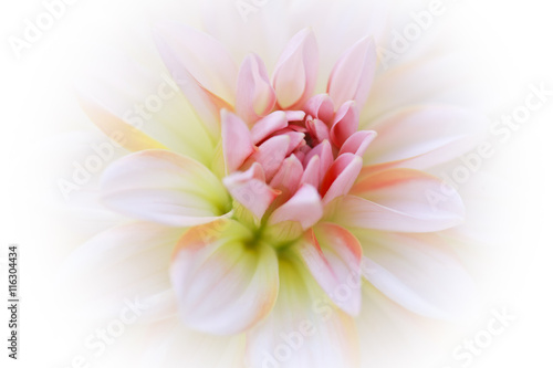Fotografie, Obraz  Beautiful Dahlia Flower - in Soft Focus - Blurred Background