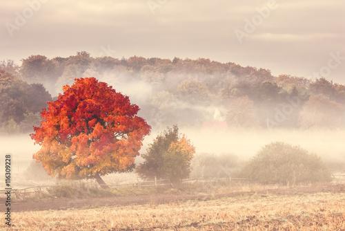 Pomerania , Poland/ Autumn Tree. - 116309228