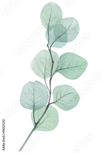 Fototapeta eucalyptus twig watercolor illustration obraz na płótnie