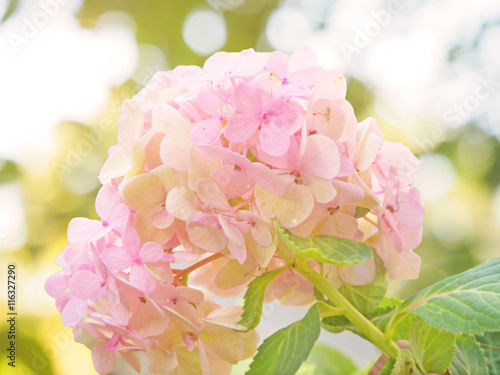 Spoed Foto op Canvas Hydrangea Pink Hydrangea flower soft and blurred background