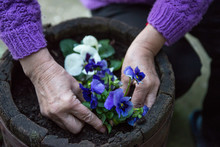Woman Planting A Pansy Flower