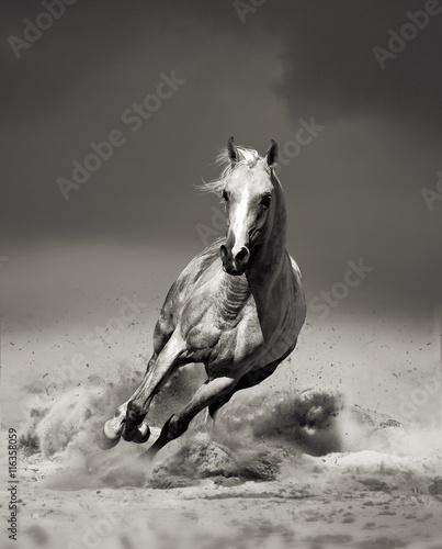 arabski-kon-na-pustyni-zdjecie-czarno-biale
