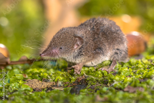 Fotografie, Obraz  Crocidura Shrew walking on forest floor