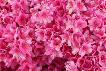 Vibrant Pink Azalea Bush In Fu...