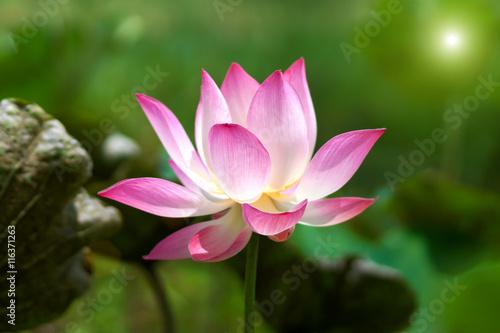 Foto op Canvas Lotusbloem Lotus flower, Thailand.