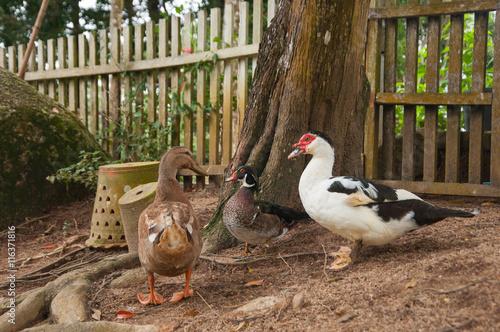 Photo  ducks, near the wooden fence