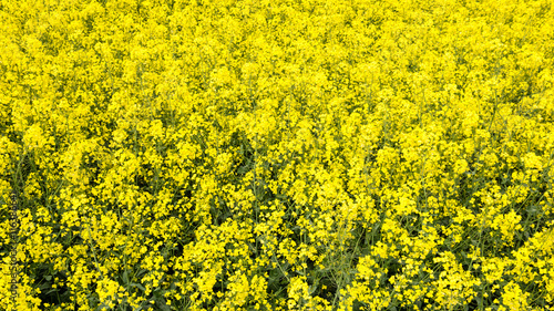 Fotobehang Geel Summer Landscape with rapeseed Field and Clouds